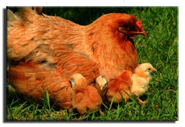 hur föda upp kycklingar